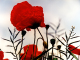 In the Shadow of the Poppies Photographic Print by Magda Indigo