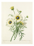 Chrysanthéme carené: Chrysanthemum carinatum Premium Giclee Print by Joseph Marie Bessin