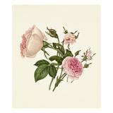 Rosa damascena Bella Donna, Rosa Mignon Giclee Print by Caroline Maria Applebee