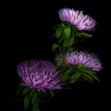 Pink Aster Photographic Print by Magda Indigo