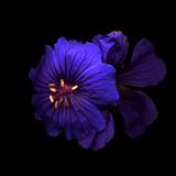 Cranesbill Geranium Photographic Print by Magda Indigo