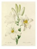 Le Lys blanc: Lilium candidum Giclee Print
