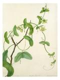 Passiflora vespertilio Premium Giclee Print by Margaret Meen