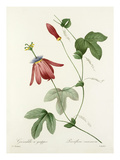 Plate 57 Giclee Print by Pierre-Joseph Redout&#233;