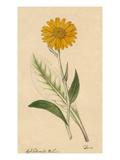 Senecio Doronicum Giclee Print by Sydenham Teast Edwards