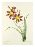 Ixia tricolor: Ixia tricolore Giclee Print