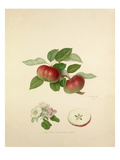 The Red Quarenden Apple Giclee Print by William Hooker