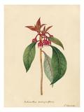 Enkianthus quinqueflorus Giclee Print by Sydenham Teast Edwards