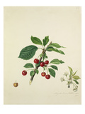 Cherry Giclee Print by Augusta Innes Withers