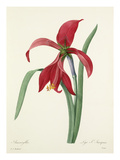 Amaryllis: Lys St. Jacques Giclee Print