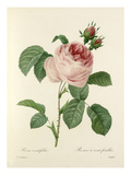 Rosa centifolia: Rosier à cent feuilles Giclee Print by  Langlois