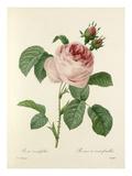 Rosa centifolia: Rosier à cent feuilles Premium Giclee Print by  Langlois