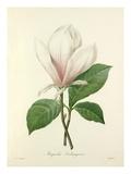 Magnolia Soulangiana Reproduction procédé giclée par  Langlois