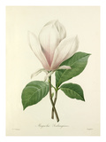 Magnolia Soulangiana Giclee Print by  Langlois