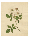 Rosa arvensis Giclee Print by Sydenham Teast Edwards