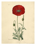 Papaver rhoeas Giclee Print by John Curtis