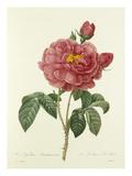 Rosa Gallica Aurelianensis: La Duchesse dOrléans Giclee Print by  Langlois
