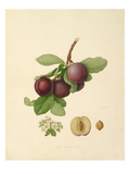 The Nectarine Plum Giclee Print by William Hooker