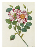 Striped or premestine rose Giclee Print by James Bolton