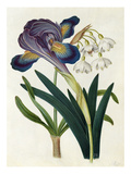Painted Iris and Summer Snowdrop Giclee Print by James Bolton