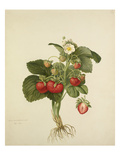 Strawberry Wilmots Superb Giclee Print by Charles John Robertson