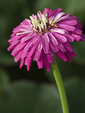 Zinnia Big Boy Photographic Print by Carol Sheppard