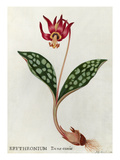 Erythronium Dens-canis Giclee Print by James Bolton
