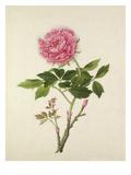 Plate 57 Giclee Print