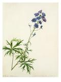 Delphinium elatum Premium Giclee Print by Margaret Meen