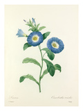 Liseron: Convolvulus tricolor Giclee Print by  Chapuy
