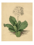 Primula auricula Gortons Champion of England Giclee Print by Sydenham Teast Edwards