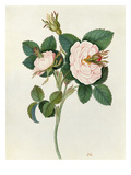 Rose Giclee Print by James Bolton