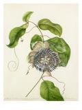 Passiflora. Lautifolia. Gynandria Giclee Print by Margaret Meen