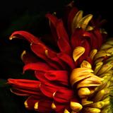 Magda Indigo - Flamenco Duotoned Chrysanthemum - Fotografik Baskı