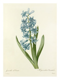 Jacinthe dOrient: Hyacinthus Orientalis Giclee Print by  Chapuy
