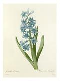 Jacinthe dOrient: Hyacinthus Orientalis Giclee Print by  Chapuy
