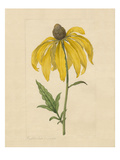Rudbeckia pinnata Giclee Print by James Sowerby
