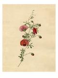 Gompholobium polymorphum Giclee Print by Sydenham Teast Edwards