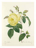 Rosa Indica: Rosier des Indes jaune Giclee Print by Joseph Marie Bessin