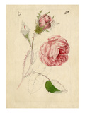 Rosa centifolia Muscosa Giclee Print by William Curtis