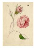 Rosa centifolia Muscosa Premium Giclee Print by William Curtis