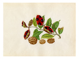 Sterculia monosperma, Juglans regia Giclee Print by  Wang Lui Chi