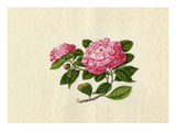 Camellia reticulata Giclee Print by  Wang Lui Chi