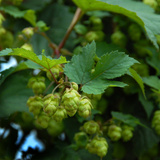 Hops Photographic Print by Magda Indigo