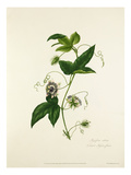 Passiflora celiata Giclee Print by Mary Lawrance