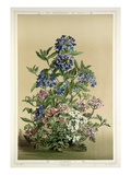 Verbena Giclee Print by L. Stroobant