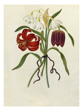 Scarlet Martagon, Cluster Snowdrop, Purple Fritillaria Giclee Print by James Bolton