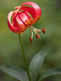 Lilium pardalinum Photographic Print by Carol Sheppard