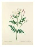 Jasmin dEspagne: Jasminum grandiflorum Giclee Print by  Langlois