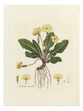 Primula acaulis Giclee Print by William Curtis